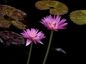 Lilac Water Lilies