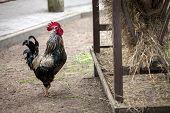Free walking Rooster near hay storage in farm yard