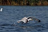Flying seagull in the Danube delta reserve