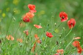 Colorful red Flanders or Corn Poppies , a wildflower that blooms during summer in agricultural cornf