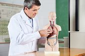 Mature male professor analyzing anatomical model at desk in classroom