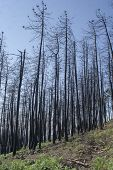 Trees Burned In A Fire