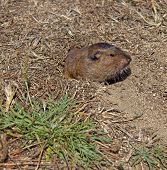 stock photo of gopher  - Botta - JPG