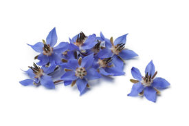 pic of borage  - Heap of fresh blue borage flowers for decoration at white background - JPG