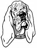 foto of basset hound  - dog head - JPG
