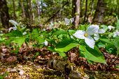 White Trilliums On The Forest Floor (low Angle)