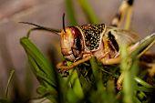 One Locust Eating