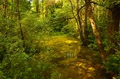 image of alder-tree  - Forest riparian stand in morning with alder and spruce tree illuminated - JPG