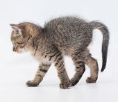 Striped Fluffy Kitten Goes Arching Tail