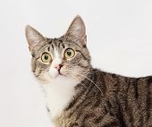 picture of heartwarming  - Tabby cat with yellow eyes and white nose stares at the white background - JPG