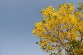 pic of vishu  - Beautiful Golden Shower Tree Under Blue Sky Chiang Mai Thailand - JPG