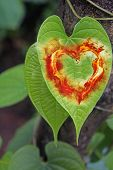Leaf Of Aerial Tubers, Heart Shape Love Concept