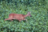 Roe Deer Doe Walking Tranquil