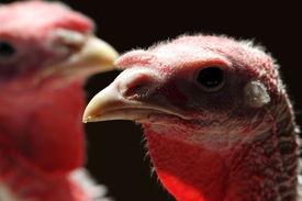 stock photo of turkey-hen  - backlit turkey hen portrait over dark natural background - JPG