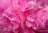 Abstract background -Pink Peony Petals