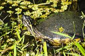 foto of cooter  - A Peninsula Cooter turtle sunning himself on the shore - JPG