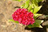Cockscomb Flower (celosia Argentea)
