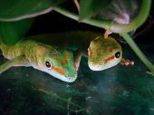 day geckos