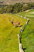 Deer Buck On A Golf Course By A Fence