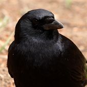 Common Raven Giving Hard Look