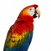 Close-up of a Scarlet Macaw (4 years old) isolated on white