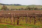 Vines in the Barossa Valley
