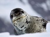Leopard Seal on ice floe in Antarctica