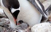 Gentoo Penguin feeding baby chick