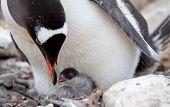 Gentoo Penguin feeding baby chick