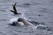 Killer Whale Playing with Gentoo Penguin