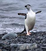 Dancing Chinstrap Penguin