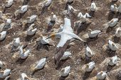 stock photo of gannet  - The Austalasian Gannet Flying Above Gannet Colony at Muriwai Beach Auckland New Zealand - JPG
