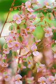 Pink Yellow Begonia Flower