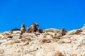 Sea Lions On A Rock