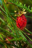ripe forest wild strawberry