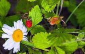 ripe berry of forest wild strawberry