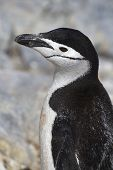 Portrait Of Antarctic Penguin  Near Colony The Antarctic Island