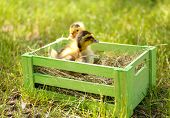 Little cute ducklings on green grass in wooden box outdoors