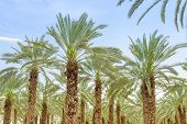 Lush Foliage Of Figs Date Palm Trees On Cultivated Oasis