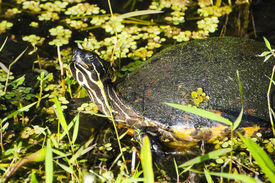 stock photo of cooter  - A Peninsula Cooter turtle sunning himself on the shore - JPG
