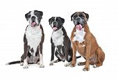A Group Of Three Boxer Dogs