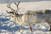 foto of tromso  - Reindeers in natural environment - JPG