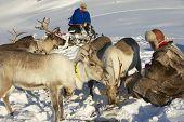 Two unidentified Saami men feed reindeers, Tromso region, Nortehern Norway.