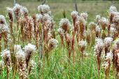foto of tall grass  - Close up of tall wild grass in the countryside of Panama - JPG