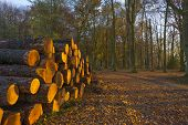 Piled trunks along a track in a forest at sunset