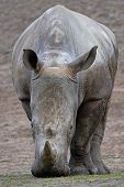 picture of afrikaner  - White Rhinoceros looking for food in its habitat