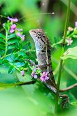 stock photo of lizards  - Green crested lizard black face lizard tree lizard - JPG
