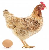 Hen And Egg