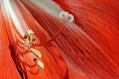 Red Lily Closeup