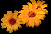 Three Yellow Daisies